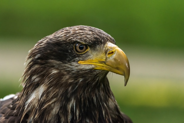 Portrait of golden eagle in its natural environment