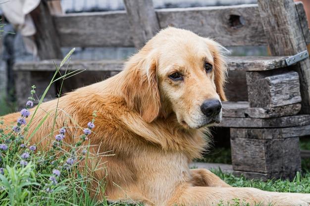 Portrait of golden retriever dog resting in the garden