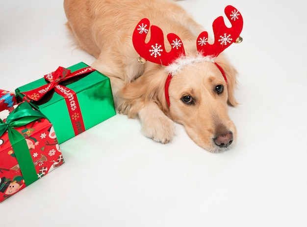 Portrait of golden retriever dog wearing red christmas antlers