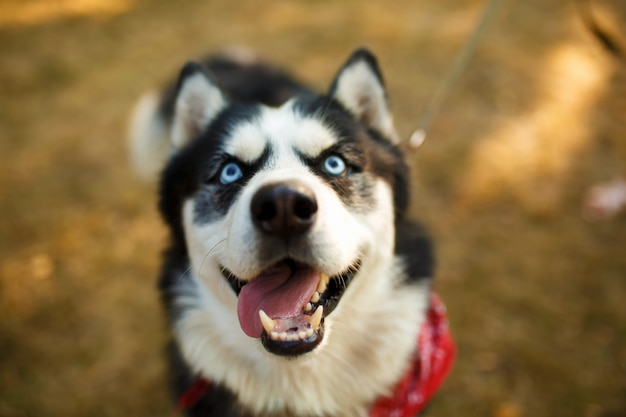 Portrait of gorgeous dog breeds husky in summer day