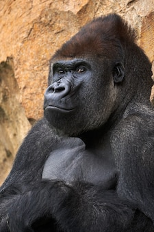 Portrait of a gorilla leaning on a rock in a park under the sunlight