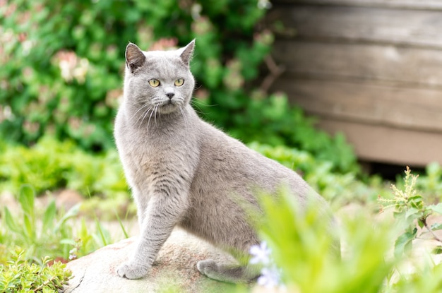 Portrait of a gray british cat on a background of green leaves