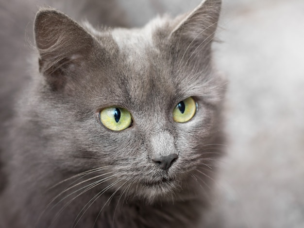 Portrait of a gray cat with green eyes close-up