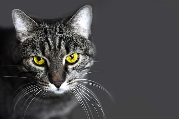 Portrait of a gray cat with  yellow eyes on a grey background
