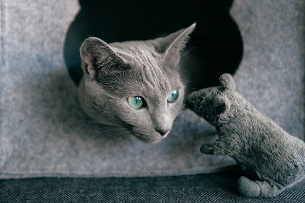 Portrait of gray kitten have fun with toy mouse at cat house.