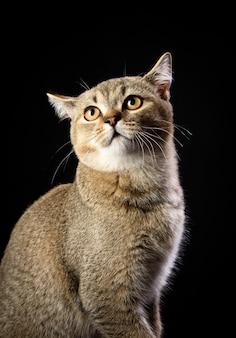 Portrait of a gray kitten scottish straight chinchilla on a black background, close up