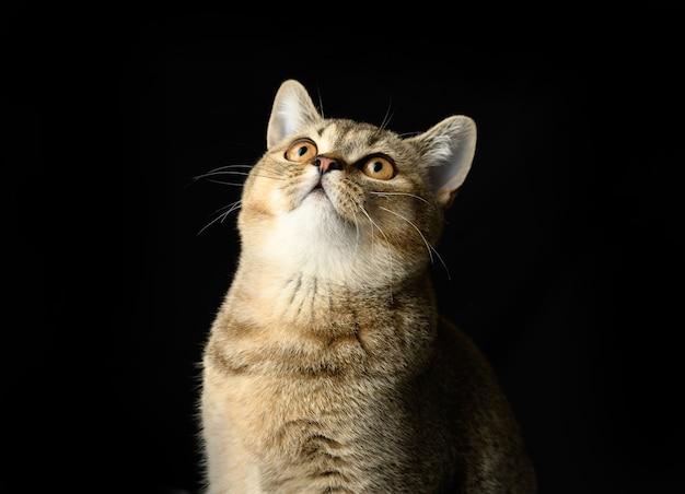 Portrait of a gray kitten scottish straight chinchilla on black, the cat looks up