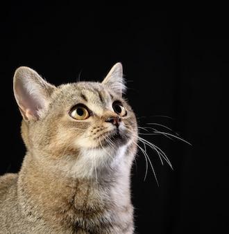 Portrait of a gray kitten scottish straight chinchilla on a black wall, close up