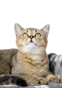 Портрет серого породистого котенка шотландской прямой шиншиллы лежит на белом фоне, кошка отдыхает