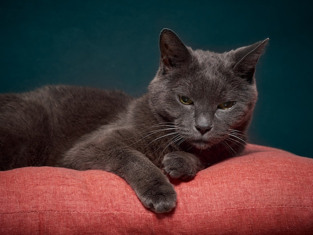 Portrait of a gray relaxed cat