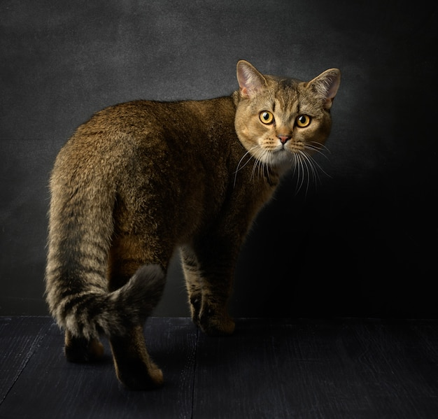 Portrait of a gray scottish straight cat on a black surface, the animal stands and looks at the front