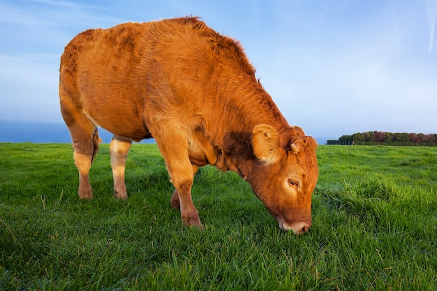 Portrait of grazing cow in normandy, france.