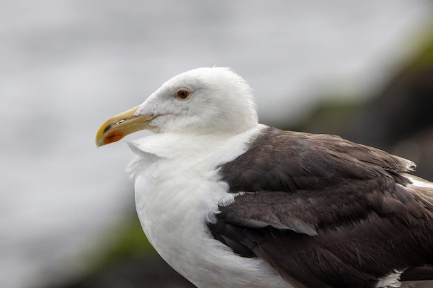 Portrait of a great black-backed seagull by the ocean