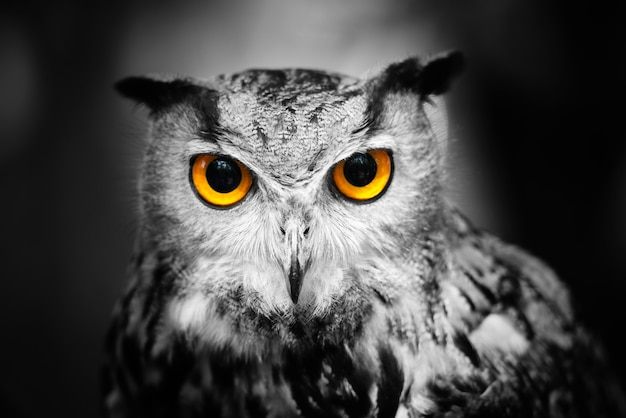 Portrait of a great horned owl against a dark background