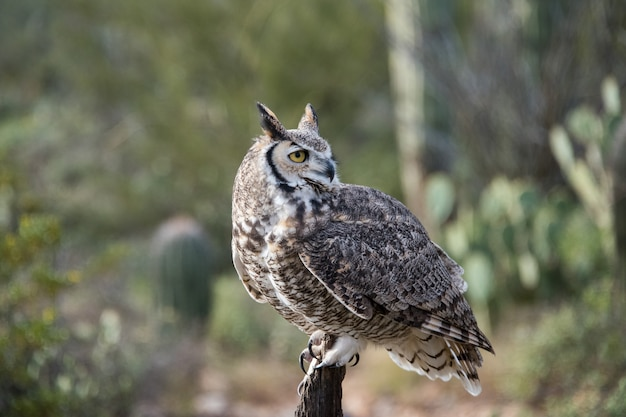 Portrait of a great horned owl in the desert southwest