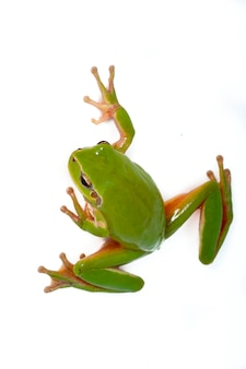 A portrait of a green frog. isolated on a white background