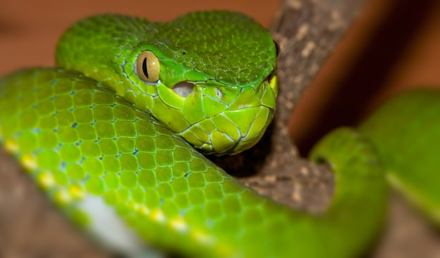 Portrait of a green viper curled up on a branch
