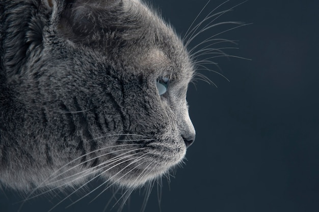 Portrait of grey cat