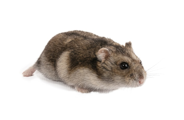 Portrait of a grey hamster on white background