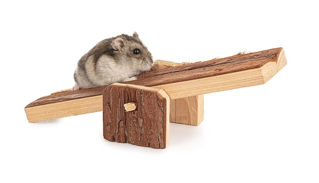 Portrait of a grey hamster on a wooden swing