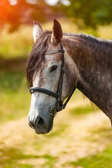 Portrait of a grey horse with mane. beautiful horse portrait. close-up