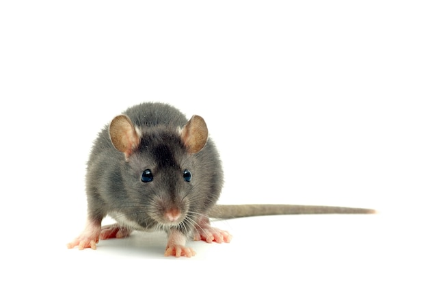 Portrait of grey rat or mouse isolated