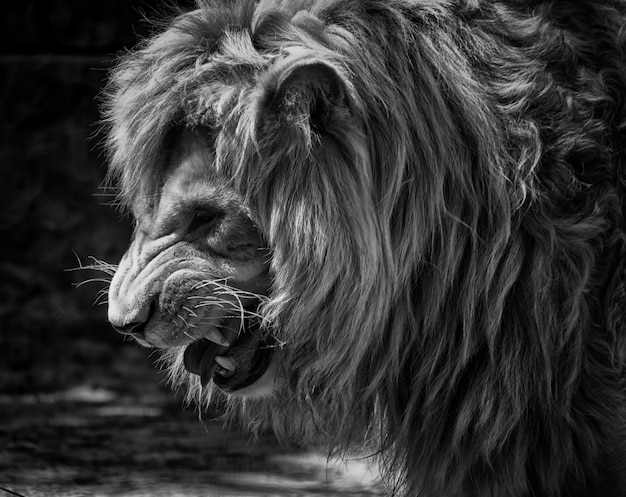 Portrait of a growling lion