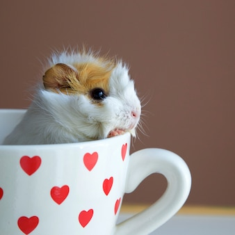Portrait of guinea pig into the cup