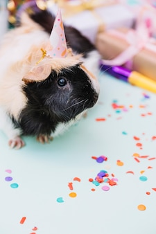 Portrait of a guinea pig wearing tiny party hat on blue background