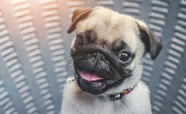 Portrait of handsome male emotion face of happy pug dog