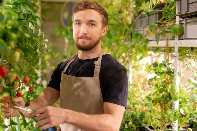 Portrait of handsome young greenhouse worker in apron cutting long branch of strawberry plant