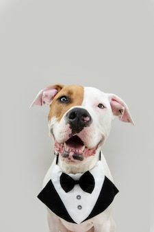 Портрет счастливый и элегантный американский стаффордшир празднует день рождения или день святого валентина в смокинге. изолированные на сером фоне