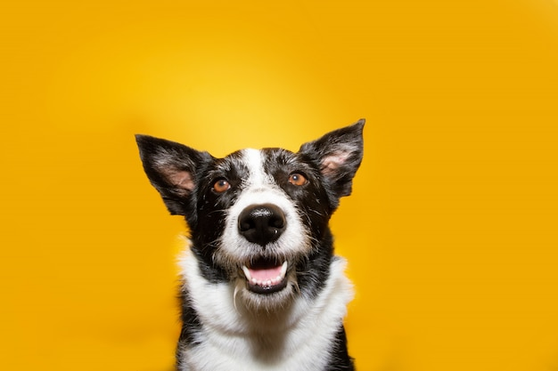 肖像画幸せなボーダーコリー犬。