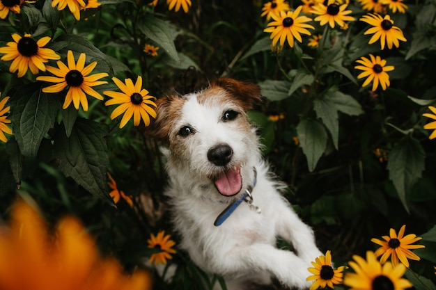 見上げる春の時間にオレンジ色の流れの間に肖像画の幸せなジャックラッセル犬。