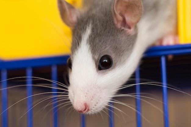 Портретная голова белого и серого ручного мышонка хомяка