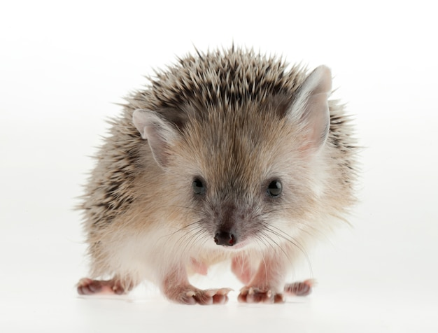 Portrait of a hedgehog in the studio on a light background