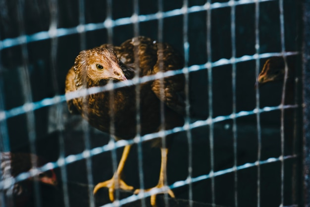 Portrait of a hen in cage