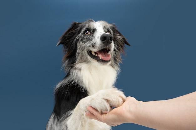Портрет дайте пять трюк с собакой бордер-колли. концепция послушания. изолированные на синей поверхности