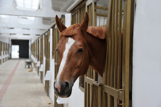 Portrait of  horse in stall box.