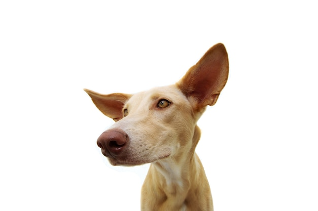 Щенок гончей портрета внимательный с большими ушами и смотрит в сторону. изолированные на белом пространстве.