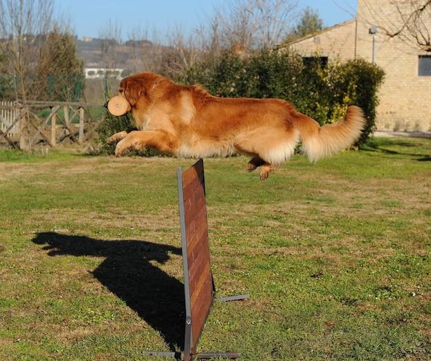 Portrait of hovawart dog