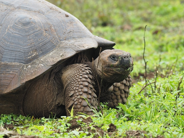 Portrait of a huge turtle in a field captured during the daytime