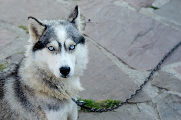 Portrait of a husky dog looking in camera on a chain in the village.