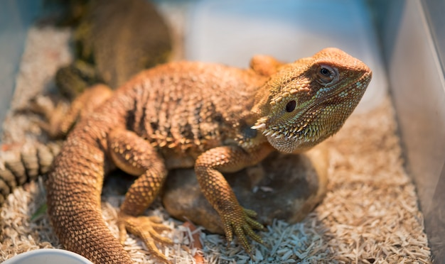 Portrait of iguana in box.