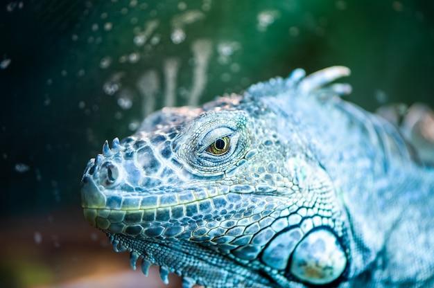 Portrait of an iguana looks straight into the camera