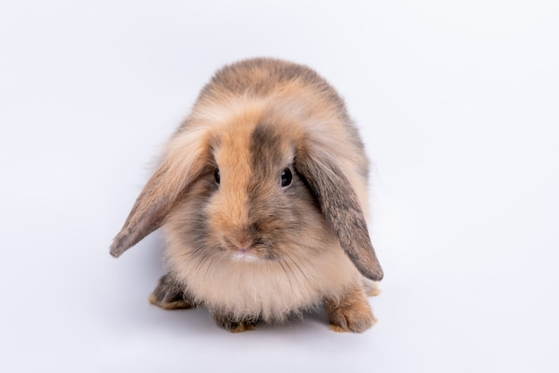 Portrait images of fat rabbit, brown fur and logn ears which sparkling eyes