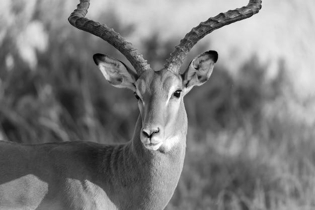 Portrait of an impala antelope in the savannah