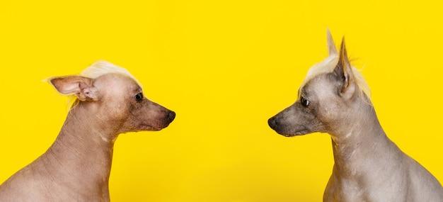 黄色の背景でお互いを見ている2匹のチャイニーズクレステッド犬のプロフィールの肖像画-画像