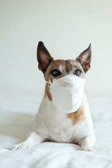 Portrait jack russell dog with medical doctor mask  white background