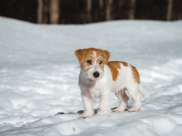 Portrait of a jack russell terrier puppy in the snow .